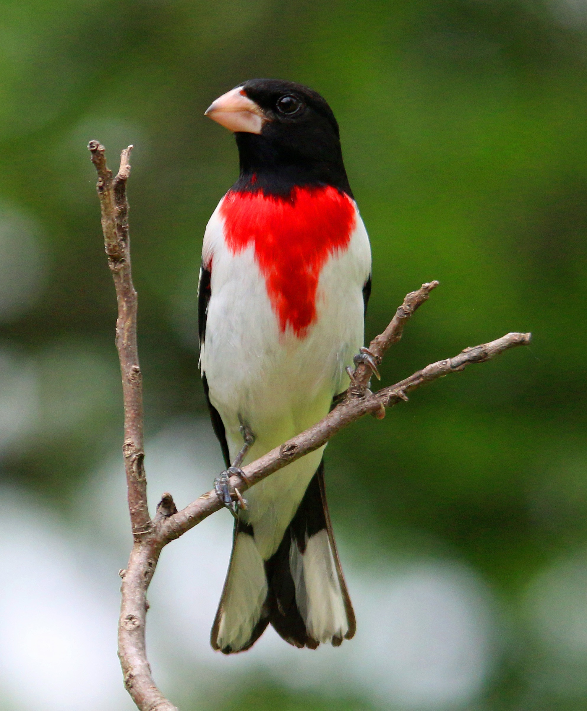 Grosbeak and Tanager