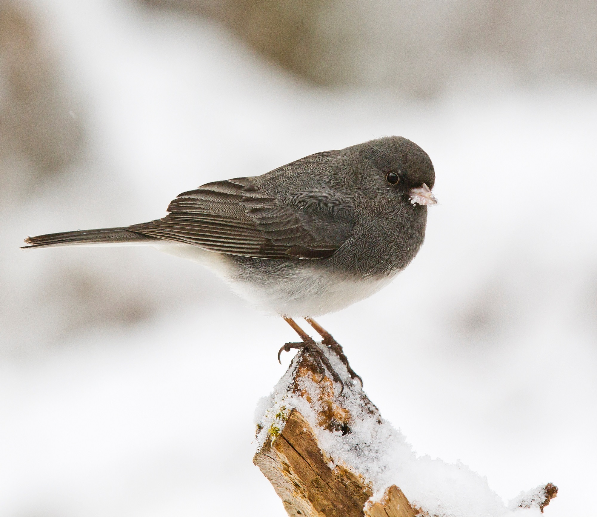 Junco and Sparrow