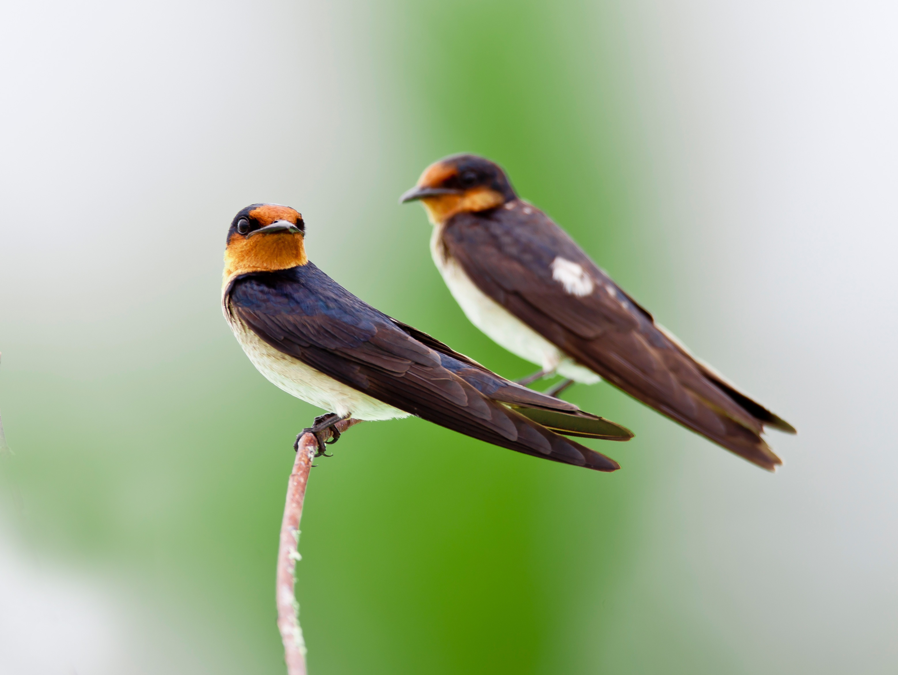 Purple Martin and Swallow
