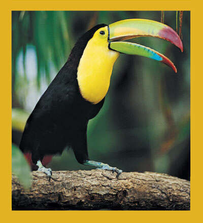 Keel Billed Toucan Magnet