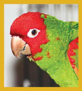 Cherry Headed Conure Magnet