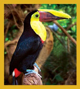 Chestnut Mandibled Toucan Magnet