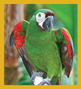 Chestnut Throated Macaw Magnet