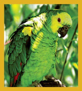Double Yellow Headed Amazon Parrot Magnet