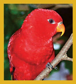 Red Moluccan Lory Magnet