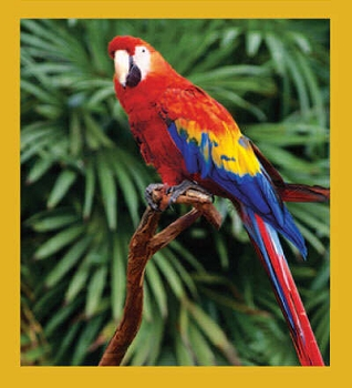 Tropical Scarlet Macaw Magnet